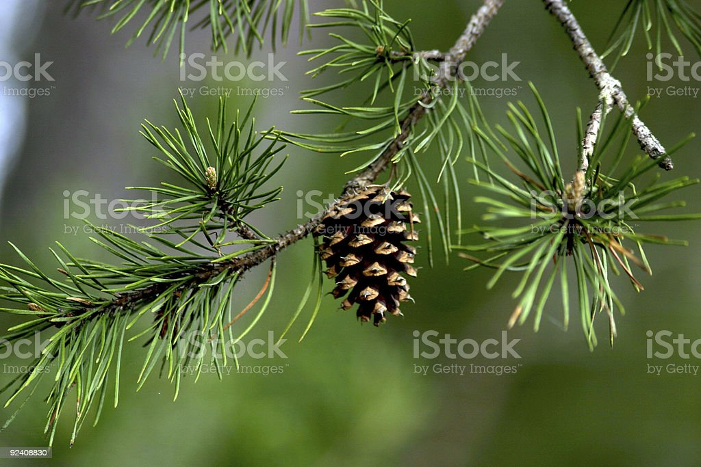 Pine Cone with Blurred Background stock photo