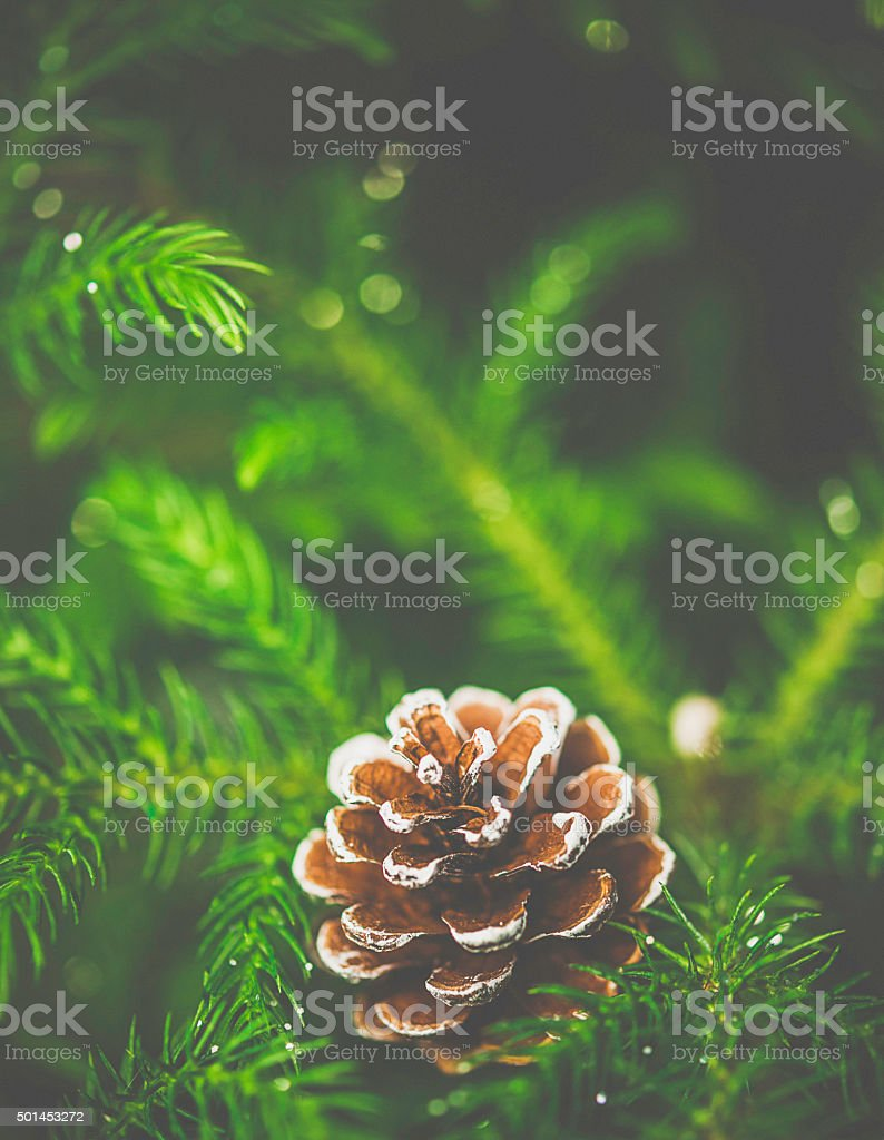 Pine cone with gold ribbon nestled inside Christmas tree branches stock photo