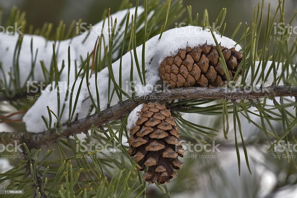 pine cone with snow royalty-free stock photo