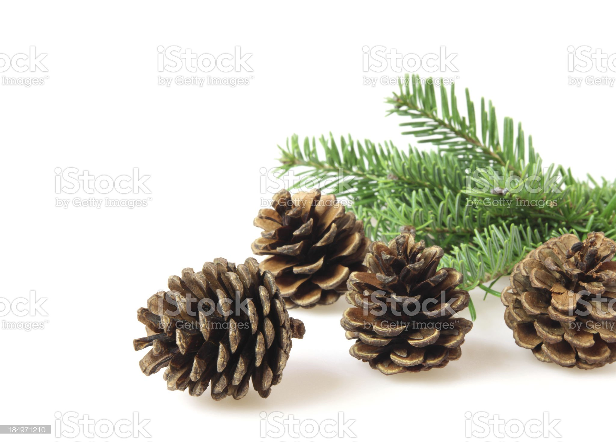Pine cones and branch royalty-free stock photo