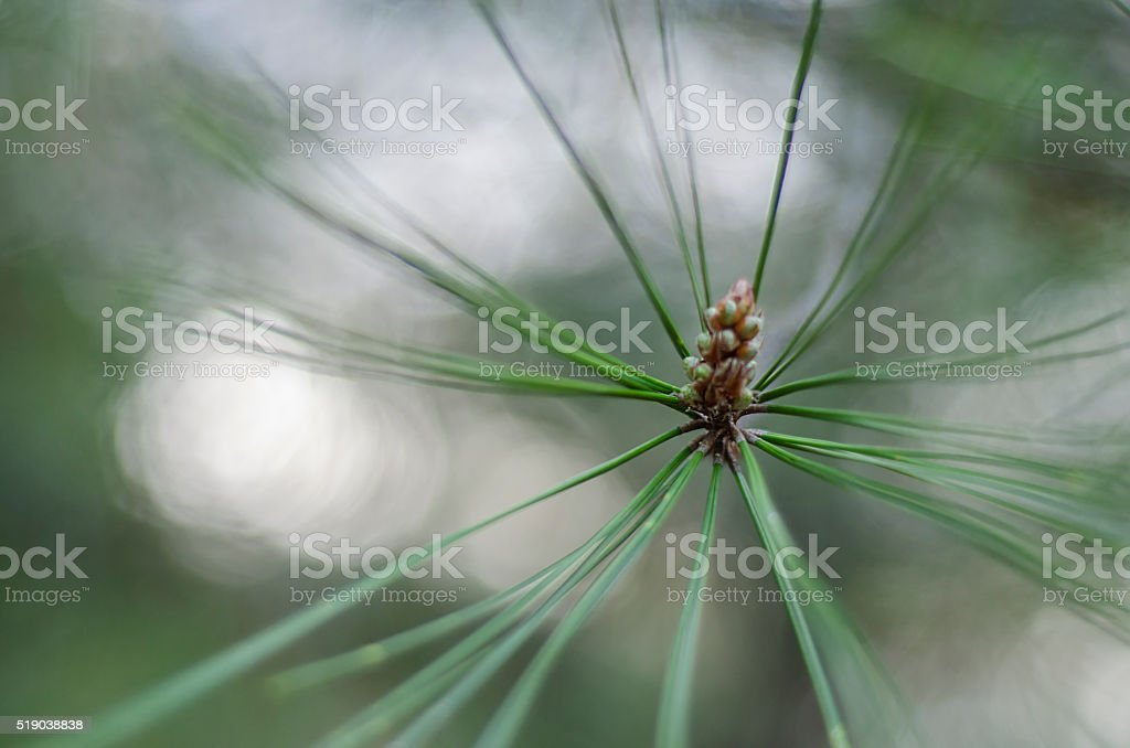Pine cones close-up stock photo