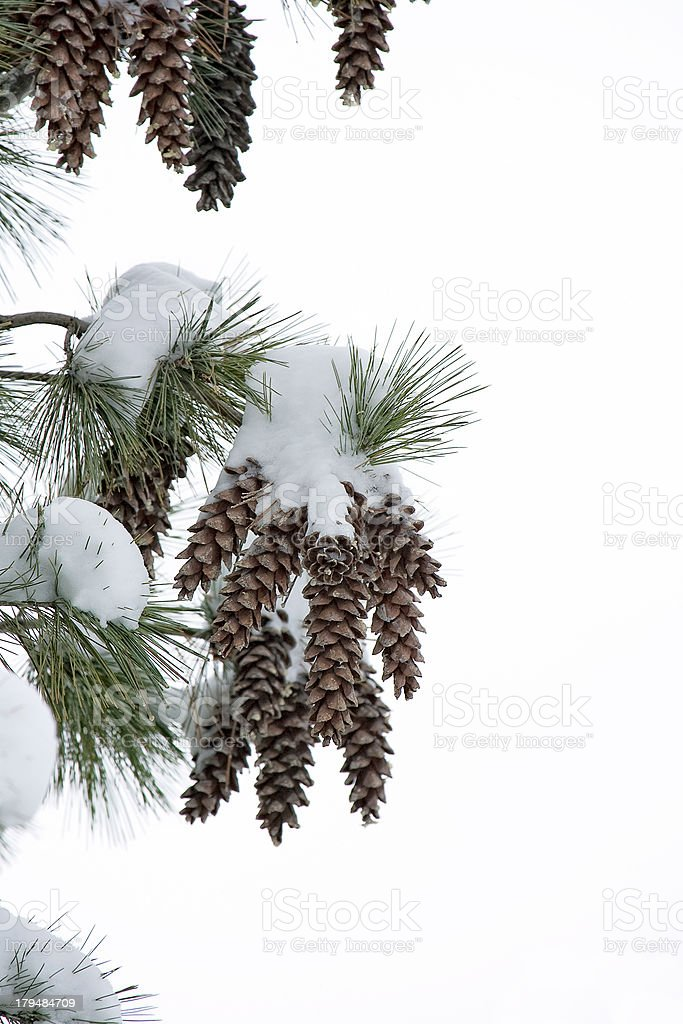 Pine cones covered with snow stock photo