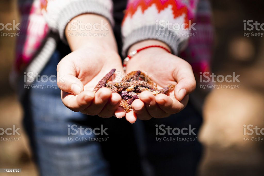 pine cones held in two hands. royalty-free stock photo