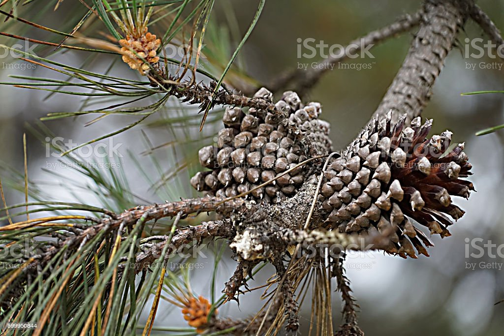 Pine Cones in Nature royalty-free stock photo