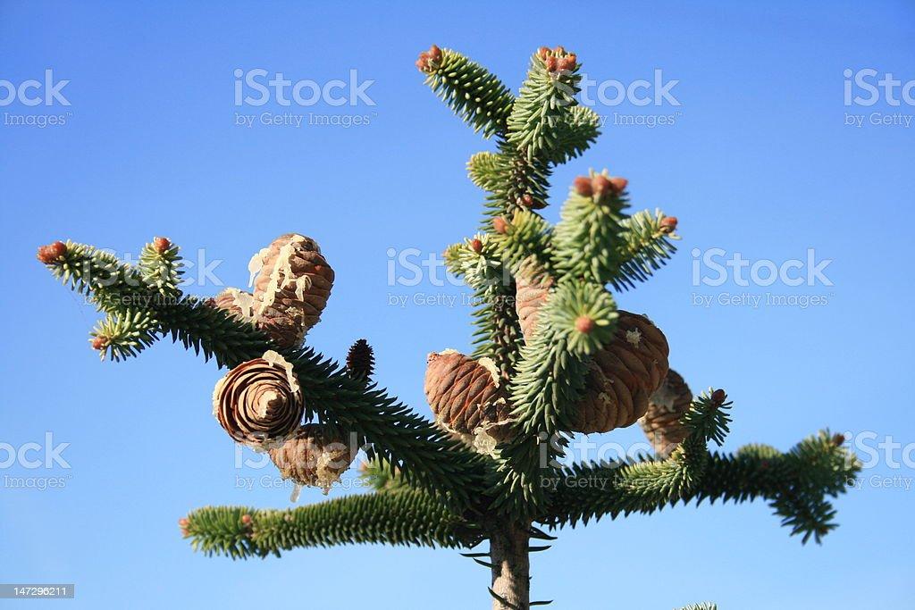 Conos de pino nordman abeto - foto de stock