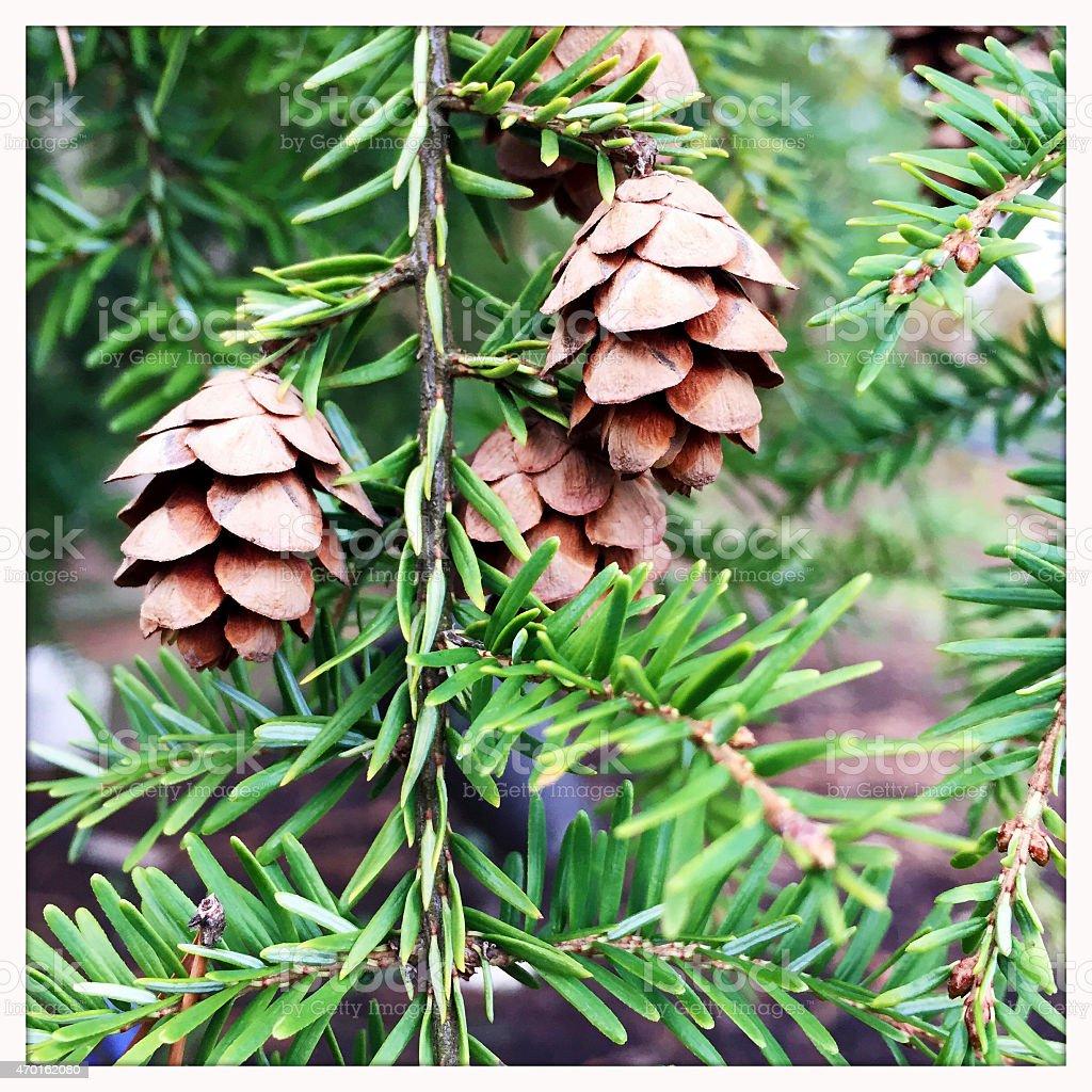 Pine Cones on Eastern Hemlock Evergreen Tree stock photo