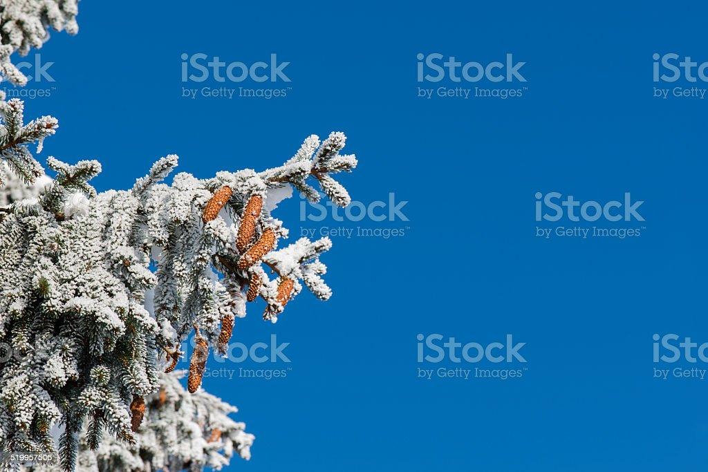 Pine cones - Wintry - Nature stock photo