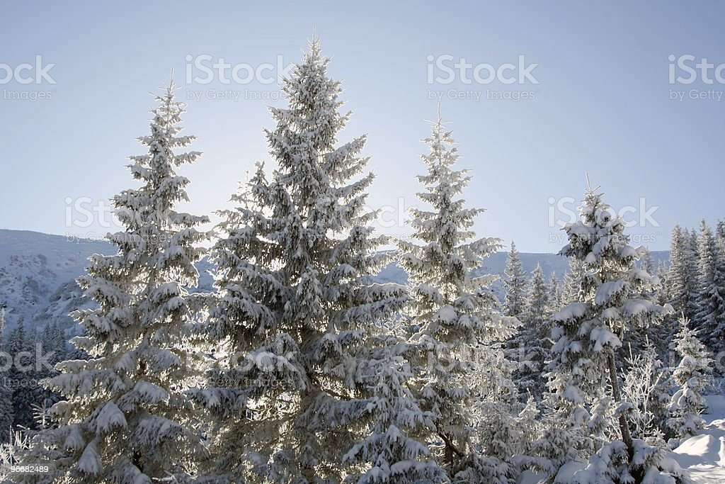 Pine covered with snow royalty-free stock photo