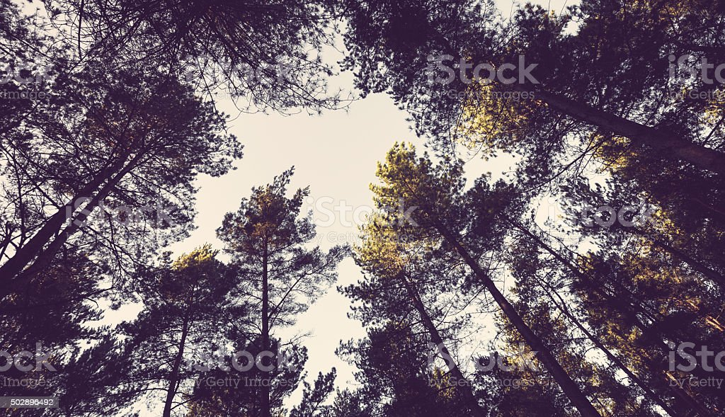 Pine evergreen forest canopy looking up stock photo