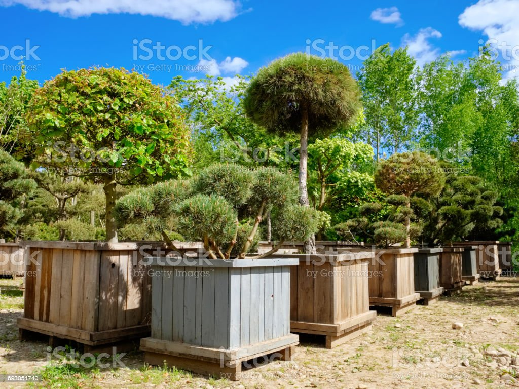 Pine, fir and garden trees and bonsai in boxes on tree farm. stock photo