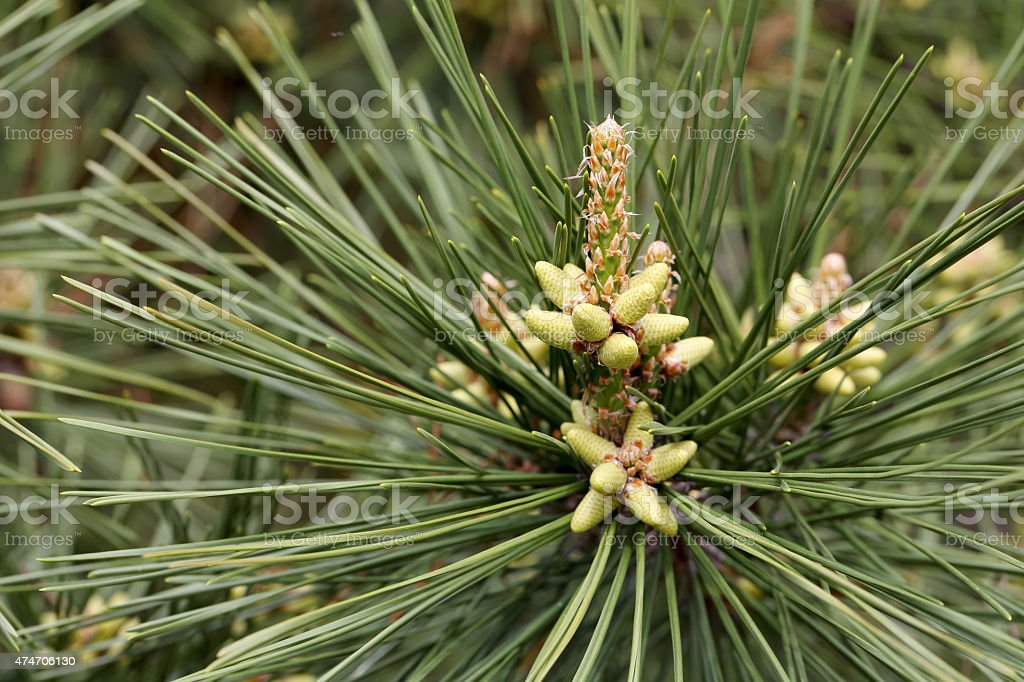 pine flower stock photo