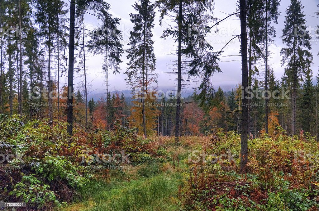 Pine forest after the rain stock photo
