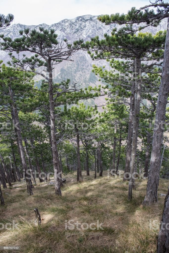Pine forest and rocky mountains. National park Paklenica, the part of Velebit; the largest mountain range in Croatia. stock photo