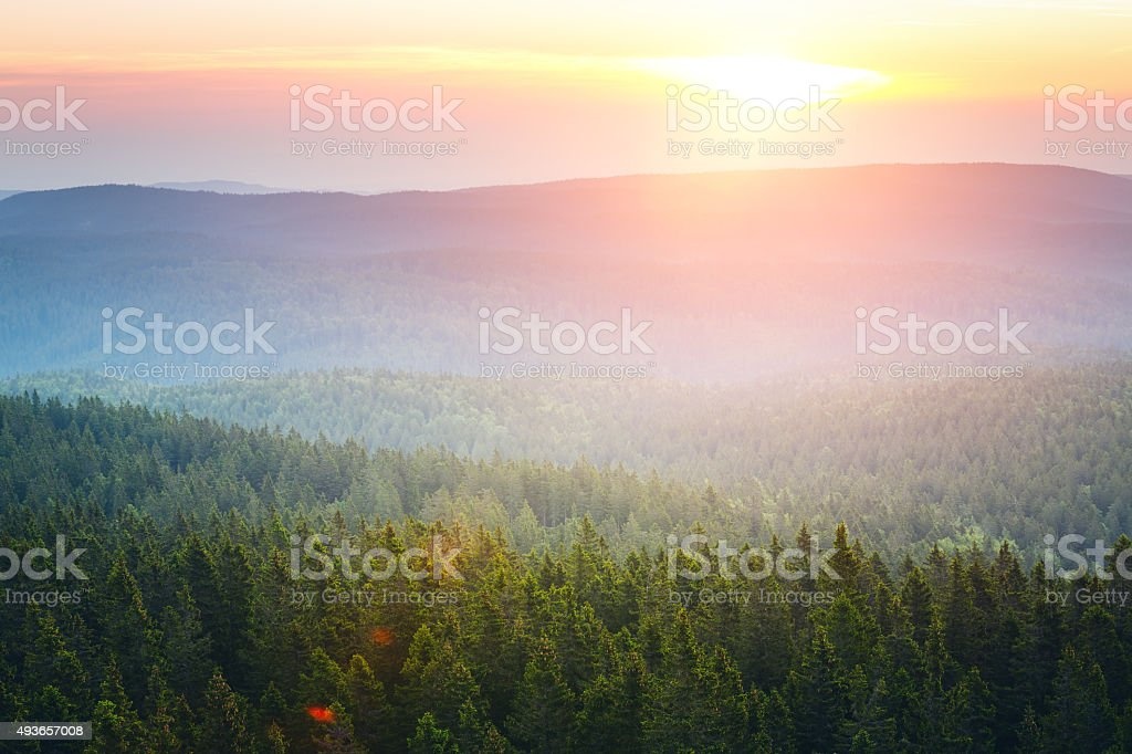 Pine Forest At Sunrise stock photo