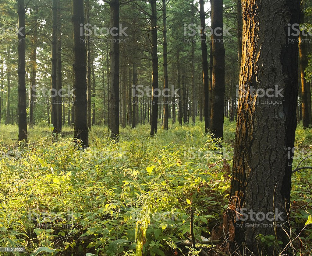Pine Forest at Sunset royalty-free stock photo