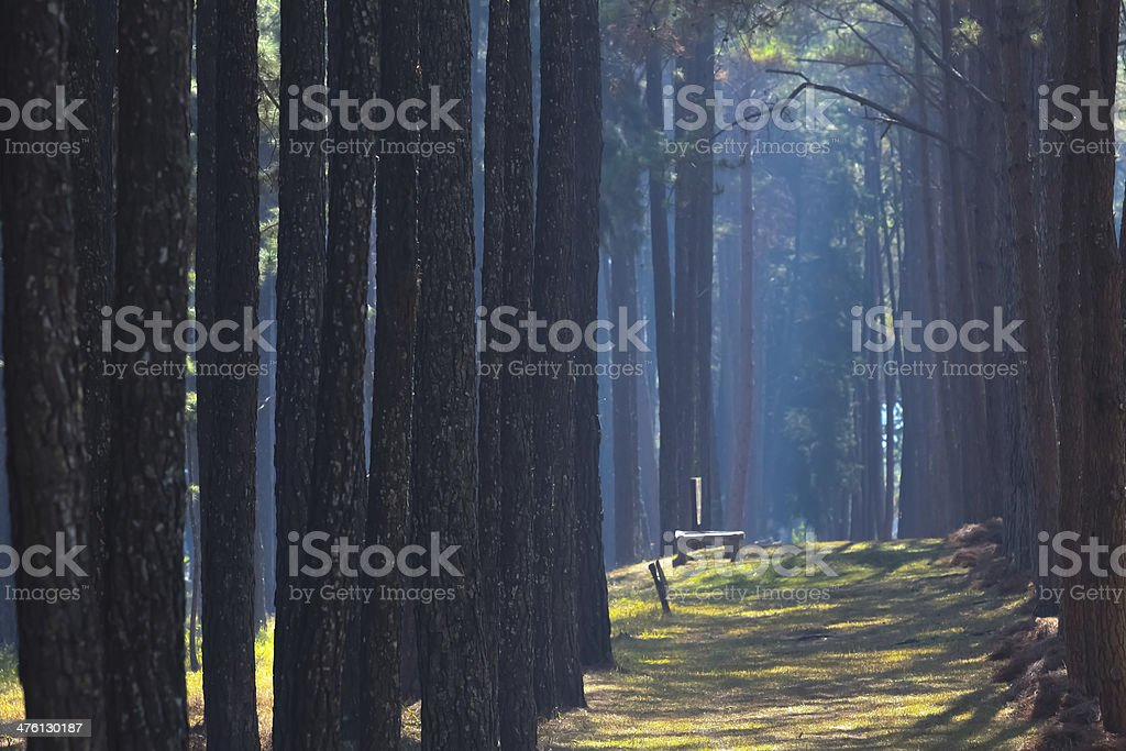Pine Forest at Sunset stock photo