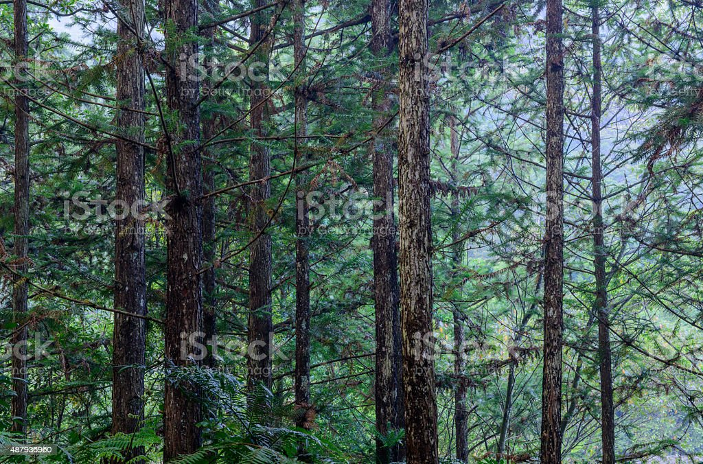 Pine forest background in the summer stock photo