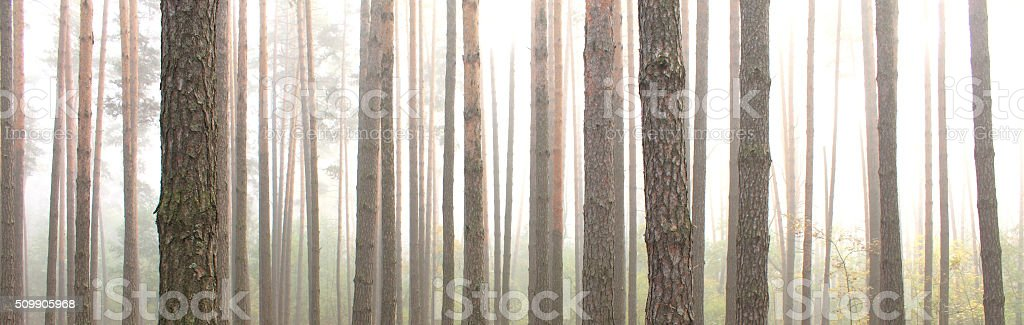 Pine forest. Beautiful panorama. stock photo