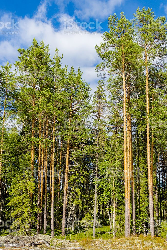 pine forest edge stock photo