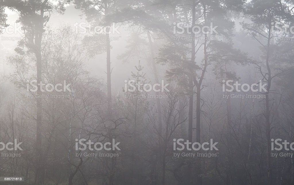 pine forest in autumn fog stock photo