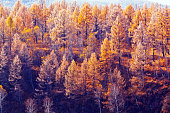 Pine Forest in Autumn
