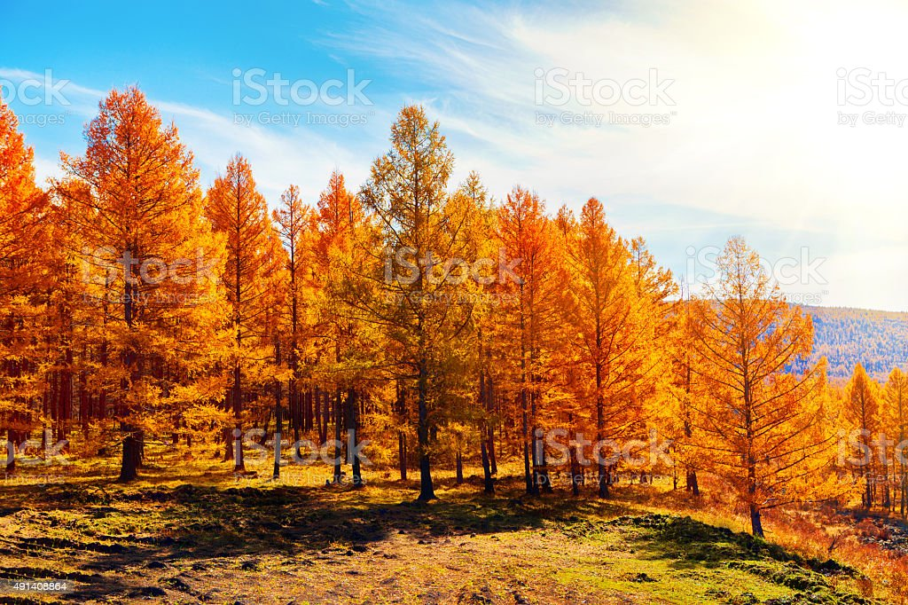 Pine Forest in Autumn stock photo