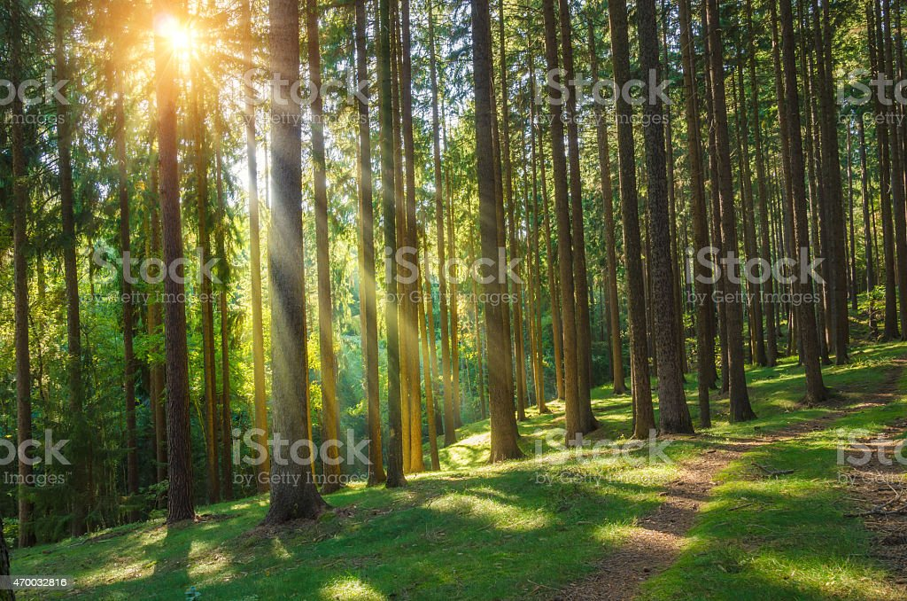 pine forest in autumn with rays of sunlight stock photo