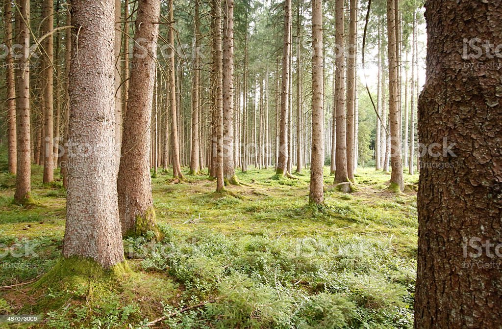 Pine Forest in Murnau stock photo
