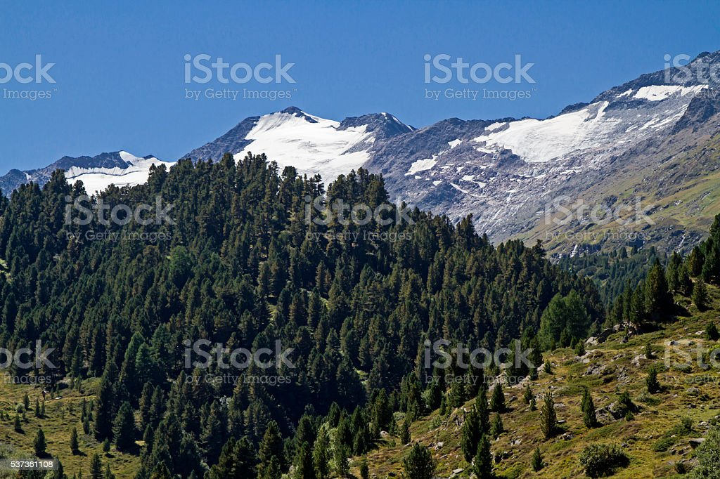 pine forest in Obergurgl stock photo