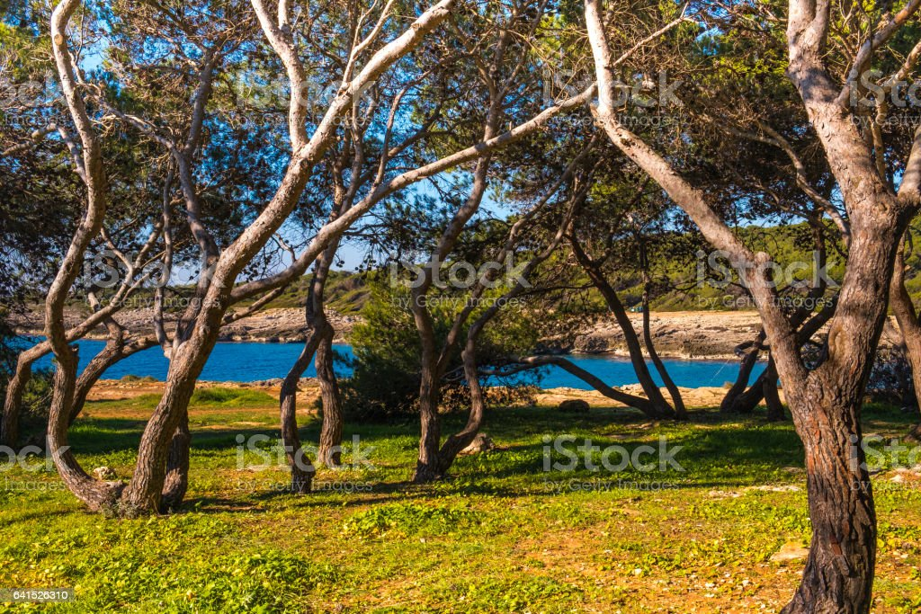 Pine forest in Porto Selvaggio bay stock photo
