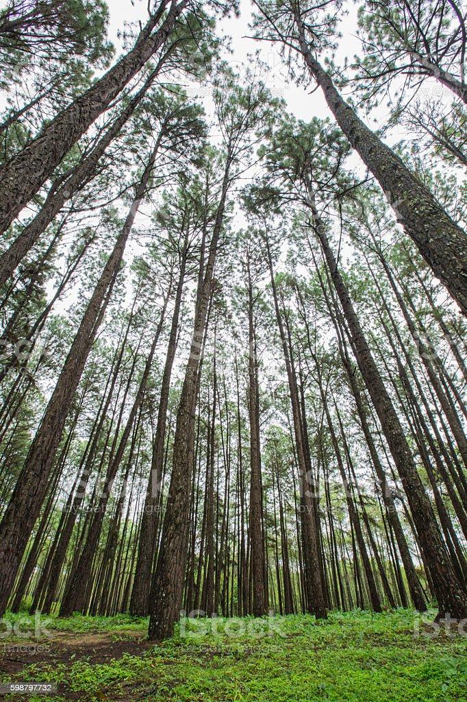 pine forest in rainy season stock photo