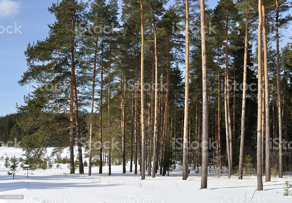Pine forest in winter time royalty-free stock photo