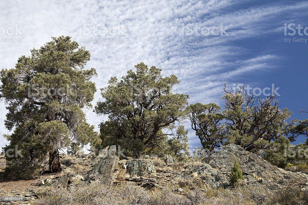 Pine Forest Landscape stock photo
