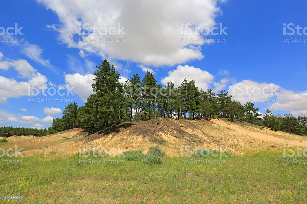 pine forest on sund hill stock photo