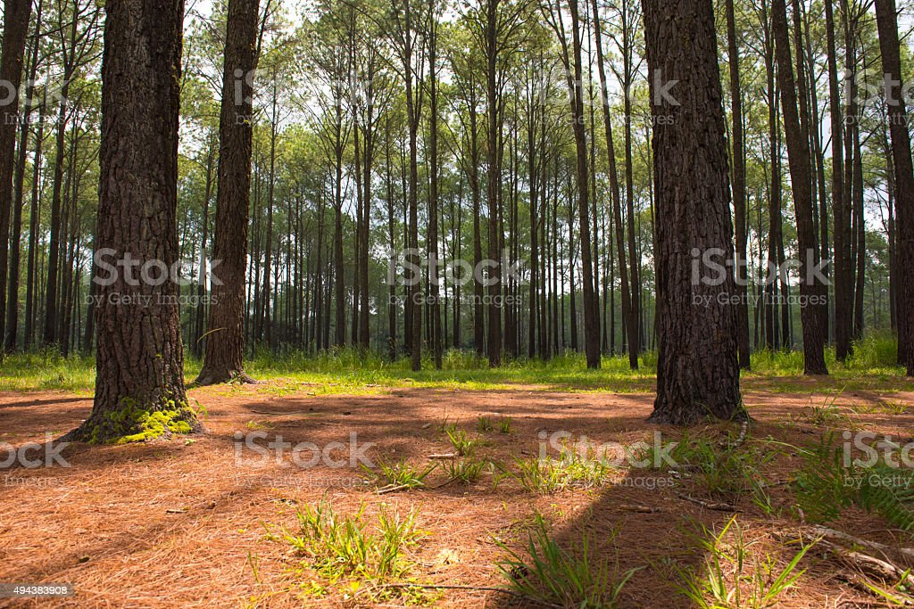 Pine forest out of focus stock photo