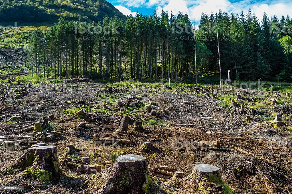 Pine forest pach exploitation stock photo
