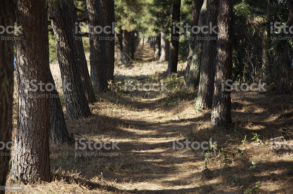 Pine forest path royalty-free stock photo
