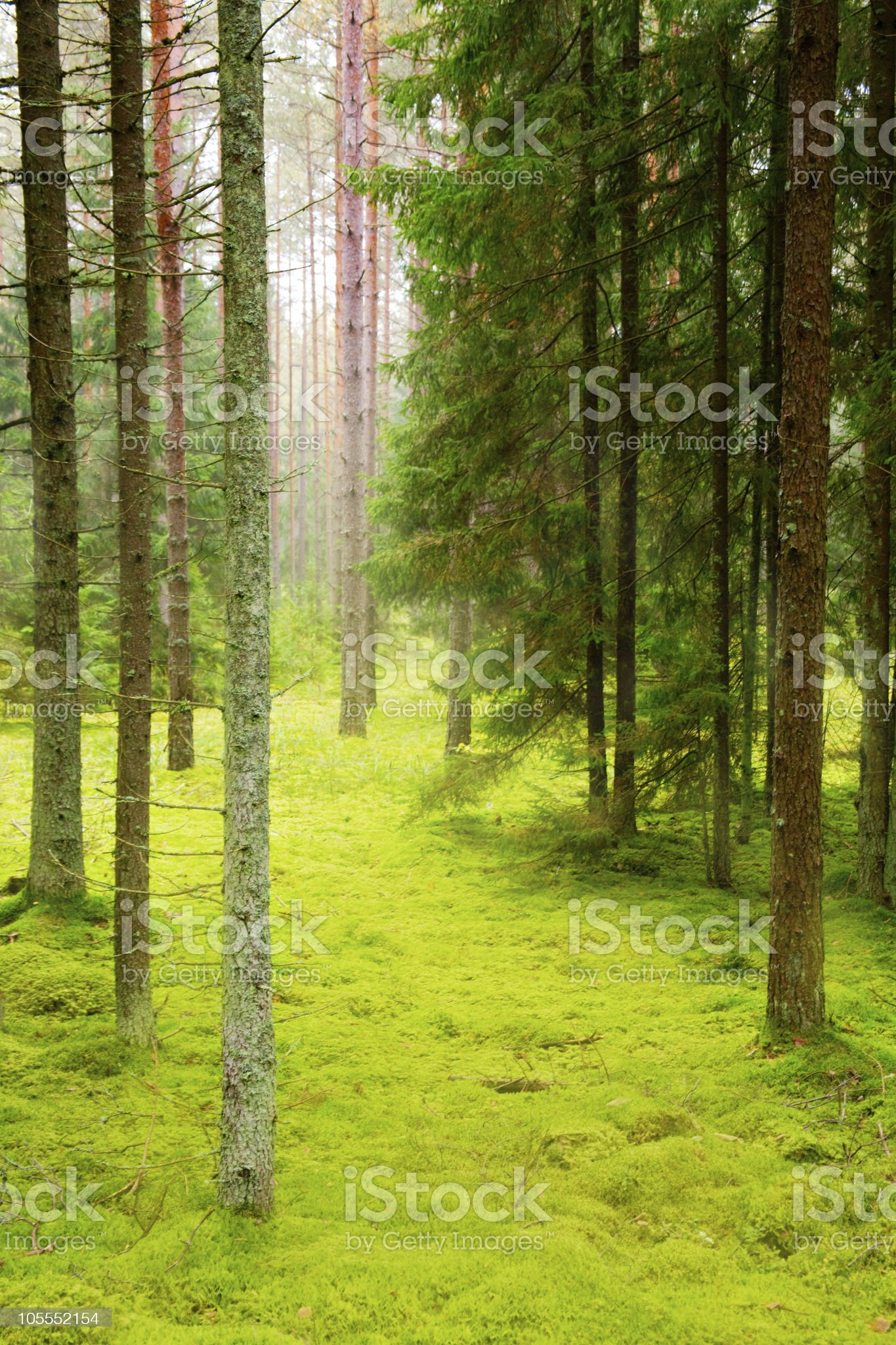 Pine forest royalty-free stock photo