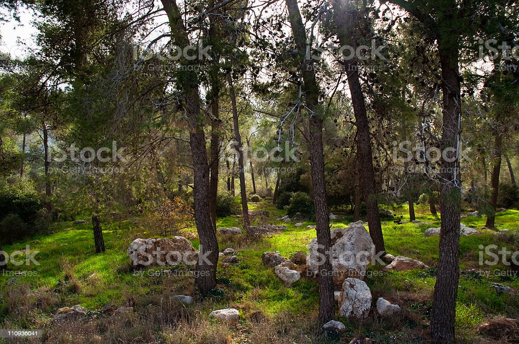 Pine forest. royalty-free stock photo