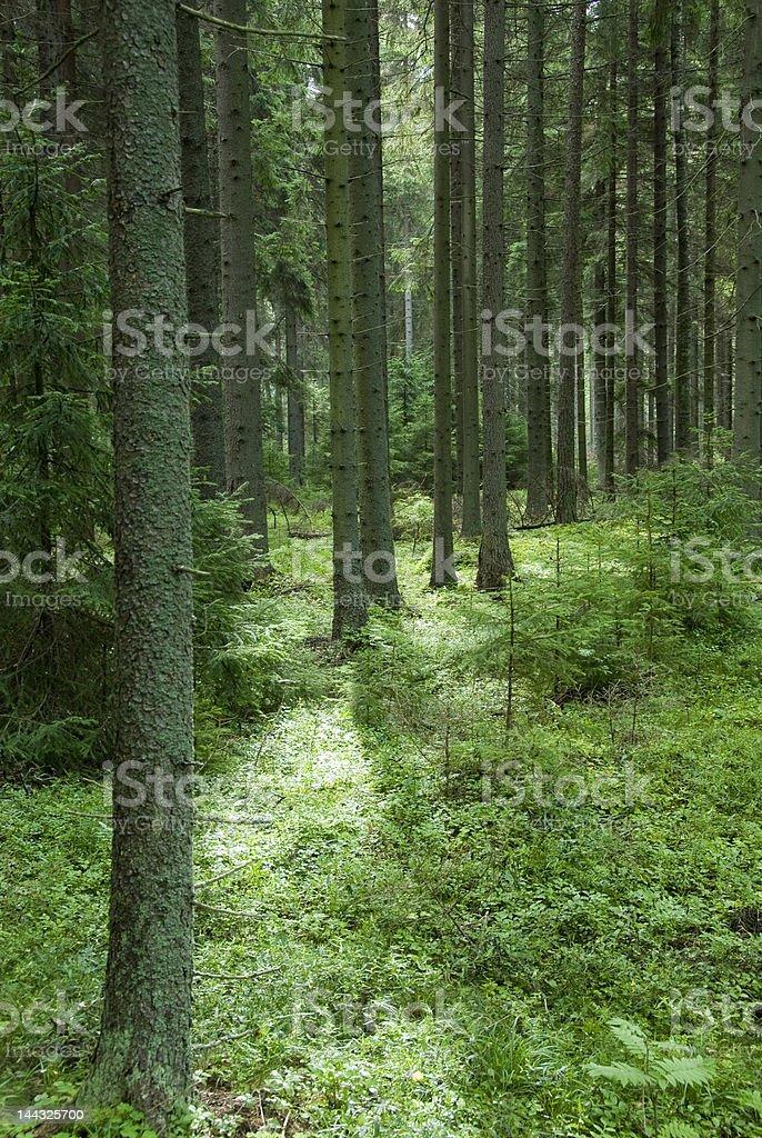 Bosque de pinos foto de stock libre de derechos