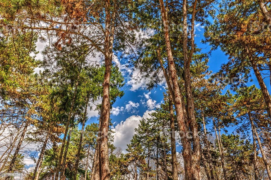 Pine Forest stock photo