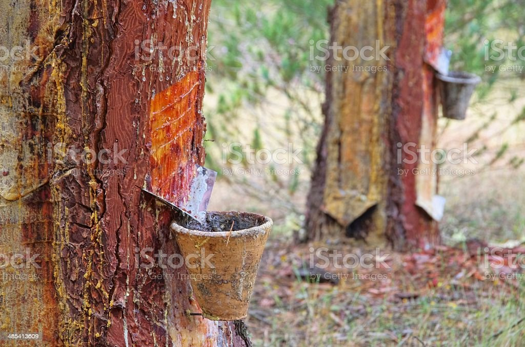 pine forest resin extraction stock photo