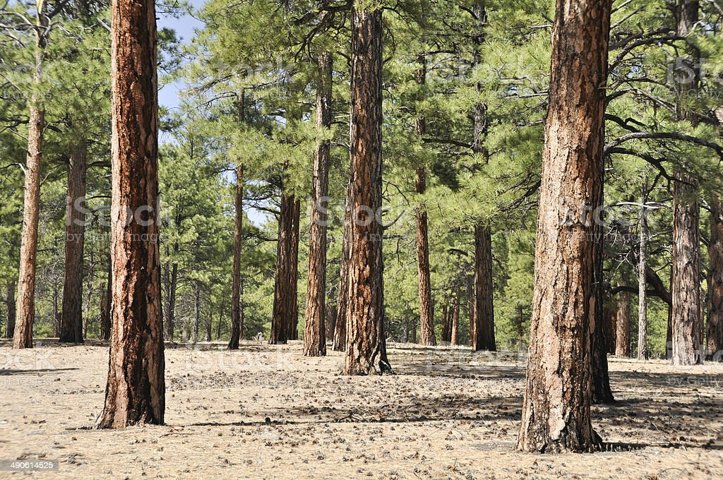 Pine forest, Sunset Crater Volcano National Monument, Arizona stock photo