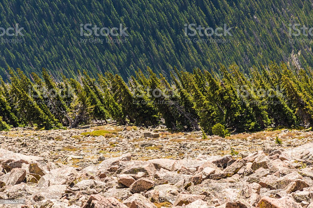 Pine forest viewed sideways in Rocky Mountains stock photo
