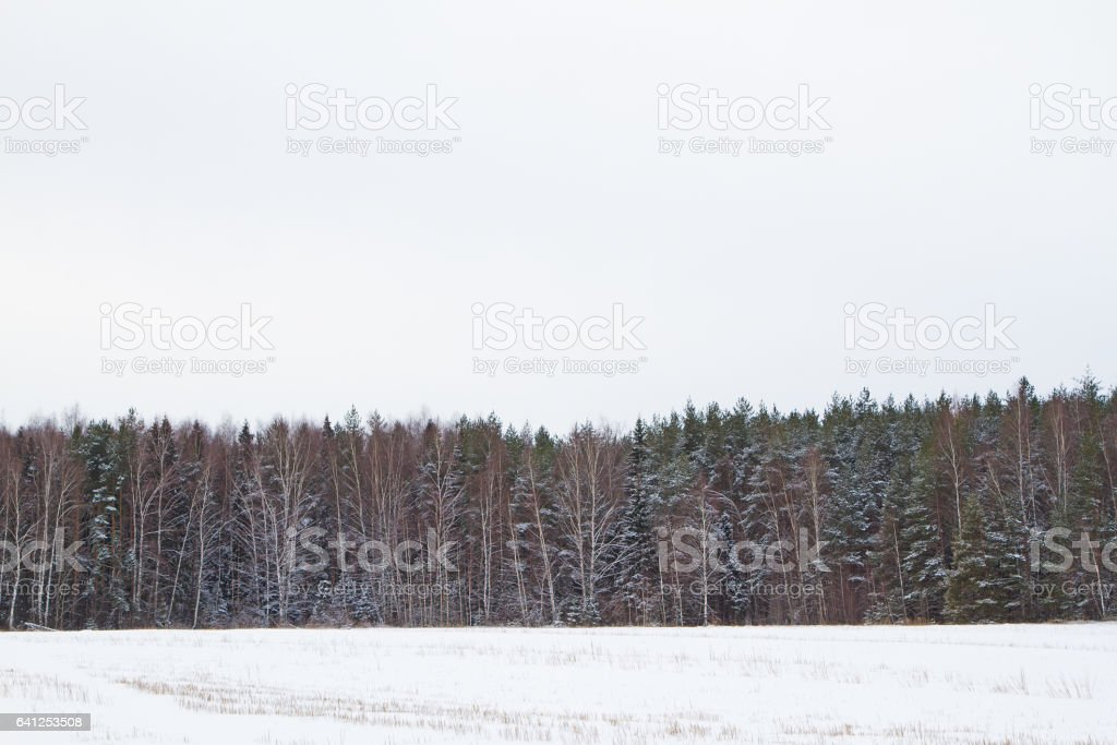 Pine forest. Winter. stock photo