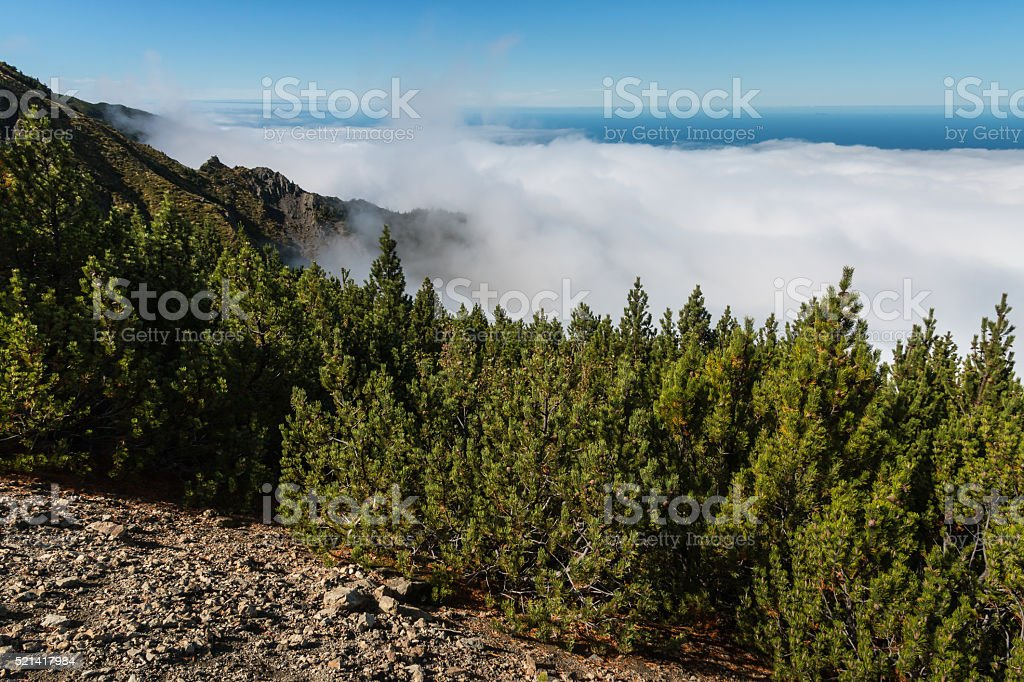 pine forest with cloud inversion stock photo