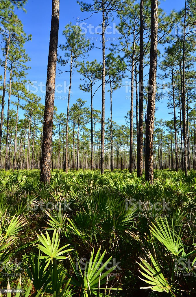 Pine forest with saw palmetto palm fronts in foreground stock photo