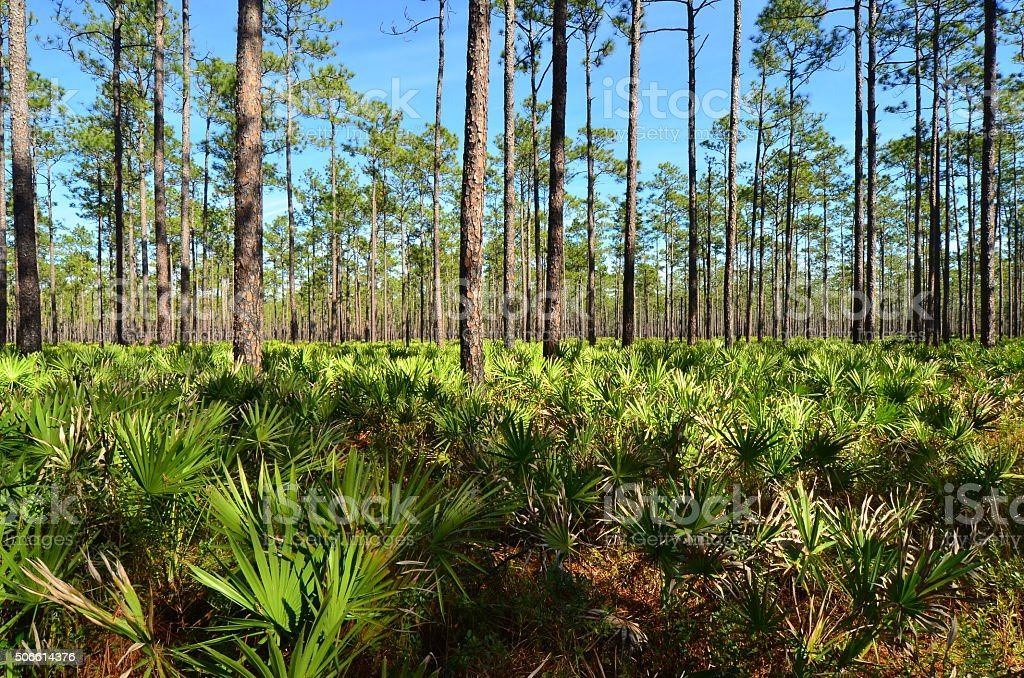 Pine forest with Saw palmetto viewed from above palms stock photo
