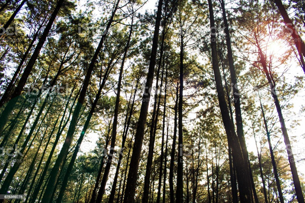 Pine forests stock photo