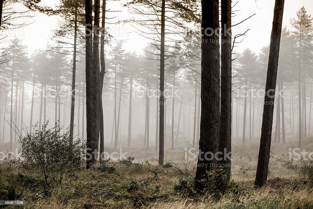 pine forrest in misty conditions stock photo